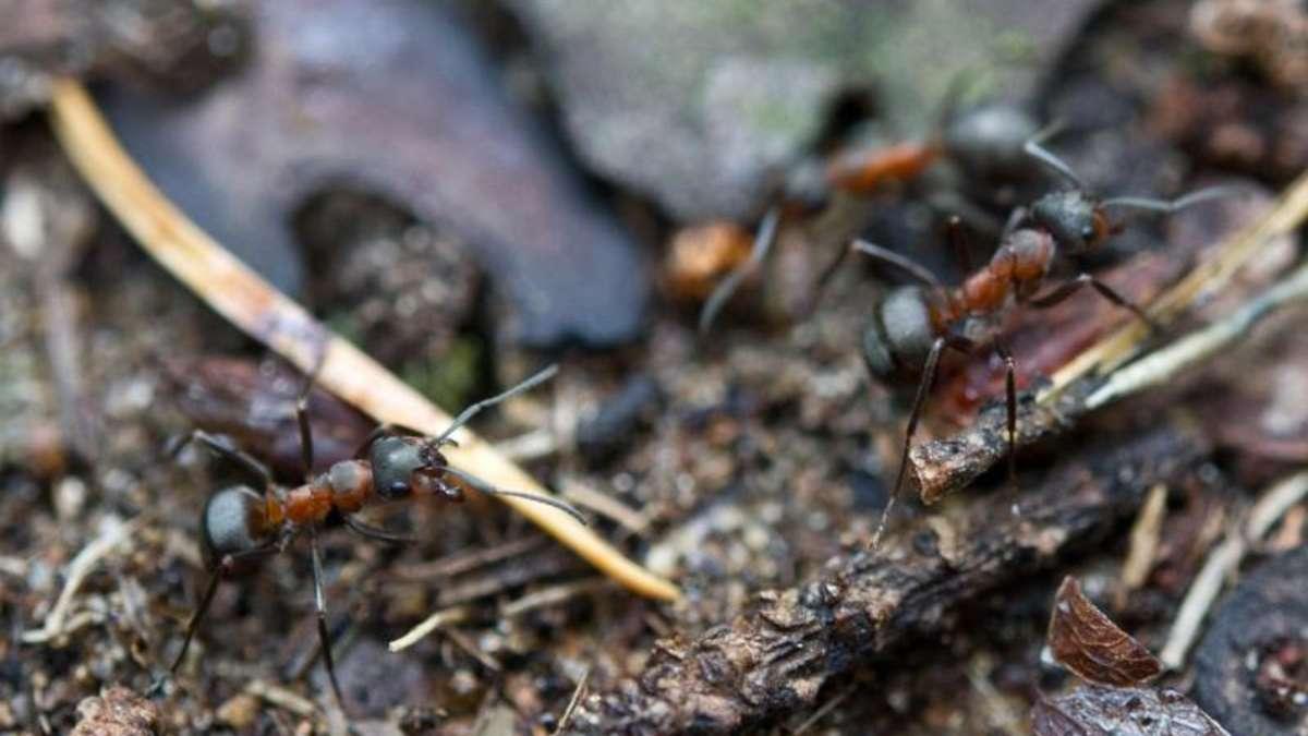 lassen sich ameisen mit kr uterpflanzen vertreiben wohnen. Black Bedroom Furniture Sets. Home Design Ideas