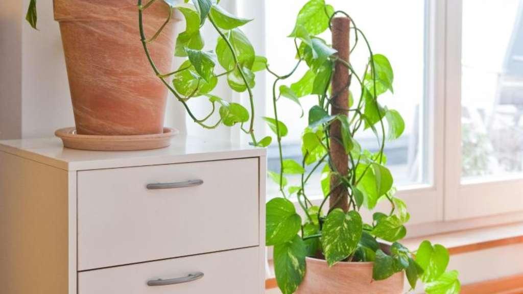 zimmerpflanzen bei sch dlingsbefall am besten entfernen wohnen. Black Bedroom Furniture Sets. Home Design Ideas