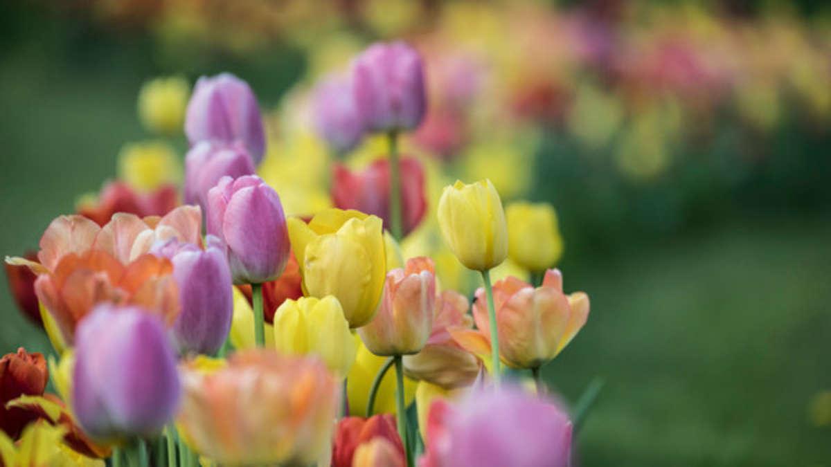 tulpen pflanzen wann ist der beste zeitpunkt und wie gehe ich vor wohnen. Black Bedroom Furniture Sets. Home Design Ideas