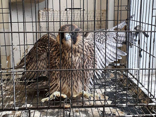 Greifvogel in Not: Polizeistreife rettete Turmfalken