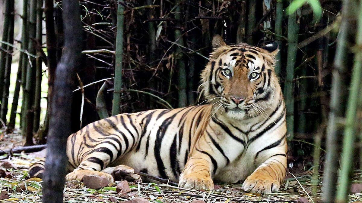 Corona Tiger Infiziert