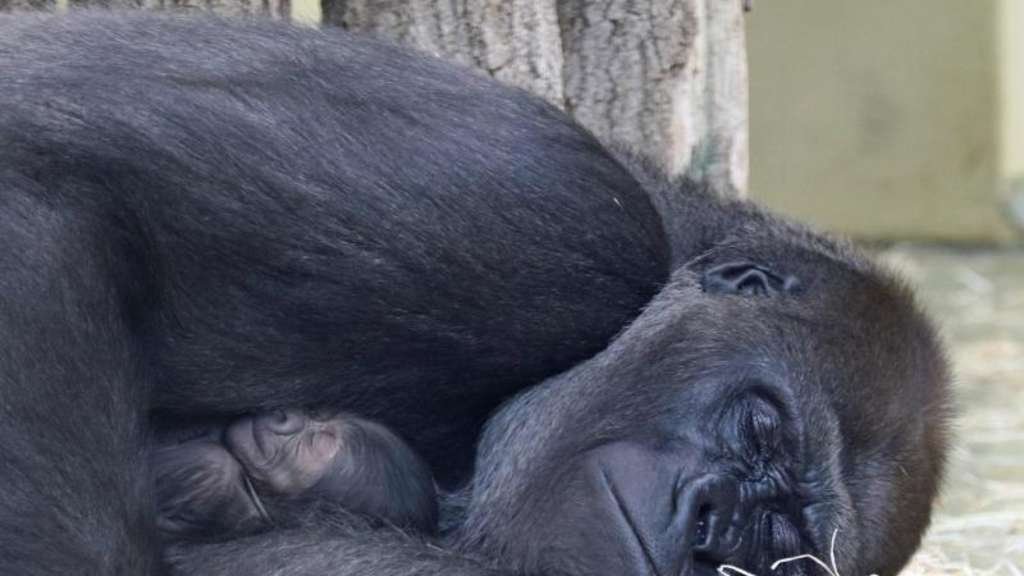 Gorillas im Zoo Berlin